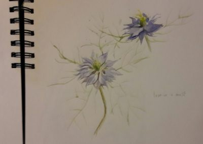 Love-in-a-mist – watercolour in sketchbook